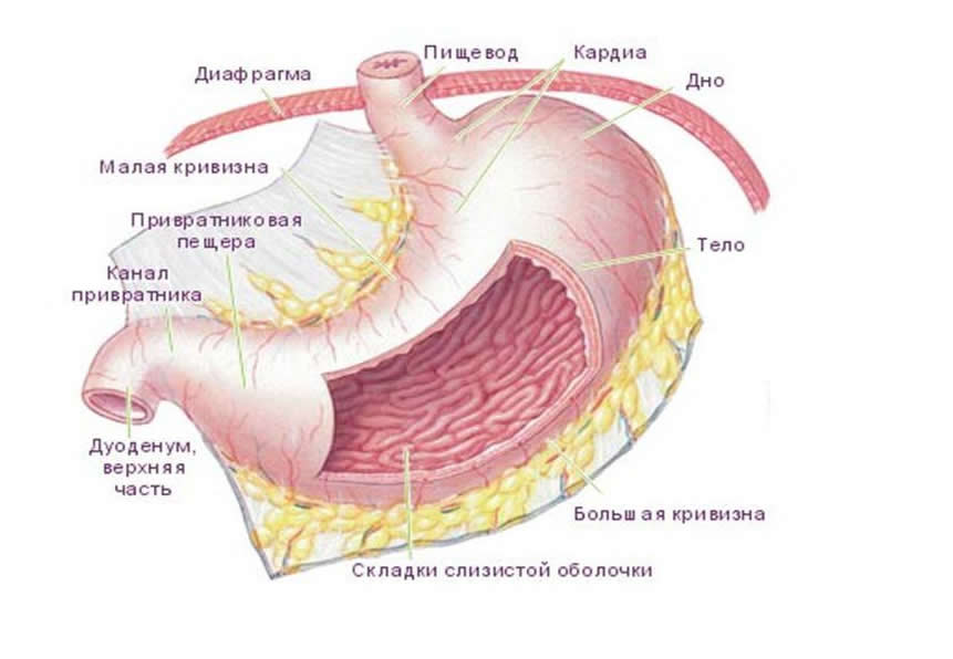 Анатомия желудка на схеме